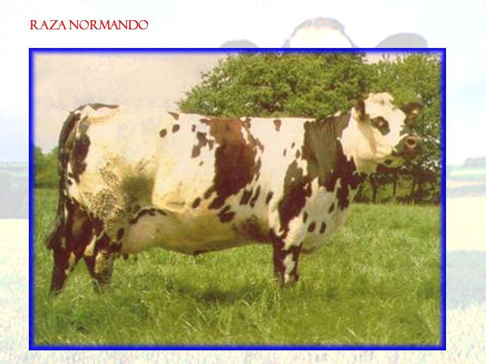 RAZA NORMANDO