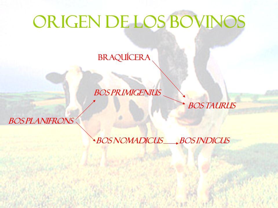 ORIGEN DE LOS BOVINOS Bos planifrons Bos Primigenius Bos nomadicus Bos taurus Bos indicus braquícera
