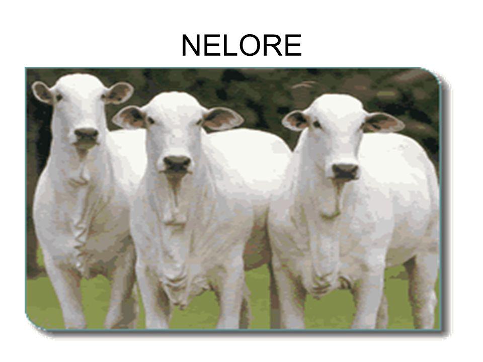 NELORE
