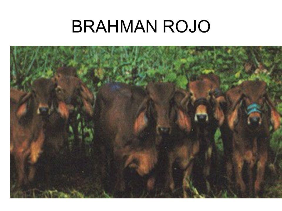 BRAHMAN ROJO