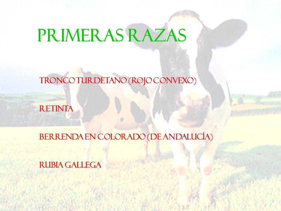 PRIMERAS RAZAS Tronco turdetano (Rojo convexo) Retinta Berrenda en Colorado (de Andalucía) Rubia Gallega
