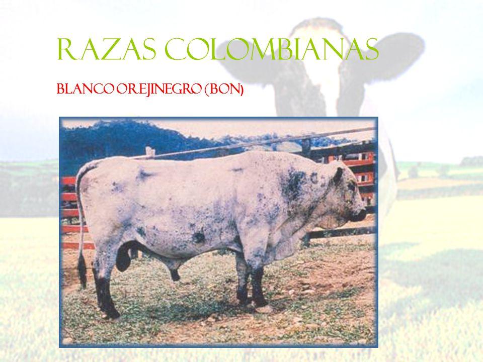 Razas colombianas BLANCO OREJINEGRO (BON )