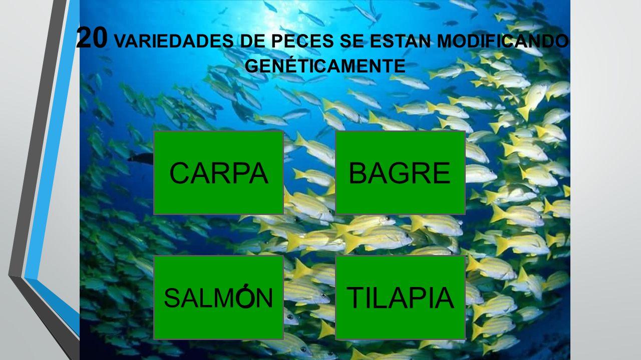 20 VARIEDADES DE PECES SE ESTAN MODIFICANDO GENÉTICAMENTE CARPABAGRE Ó SALMÓN TILAPIA