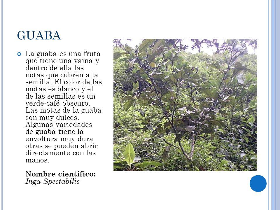 GUABA La guaba es una fruta que tiene una vaina y dentro de ella las notas que cubren a la semilla. El color de las motas es blanco y el de las semill