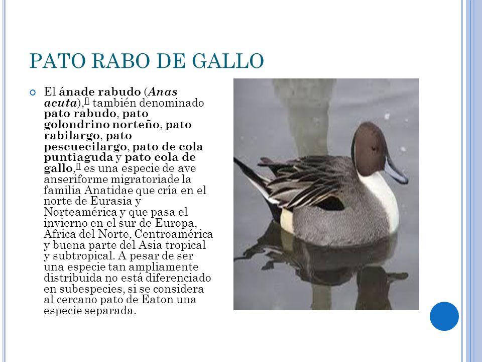 PATO RABO DE GALLO El ánade rabudo ( Anas acuta ), [] también denominado pato rabudo, pato golondrino norteño, pato rabilargo, pato pescuecilargo, pat