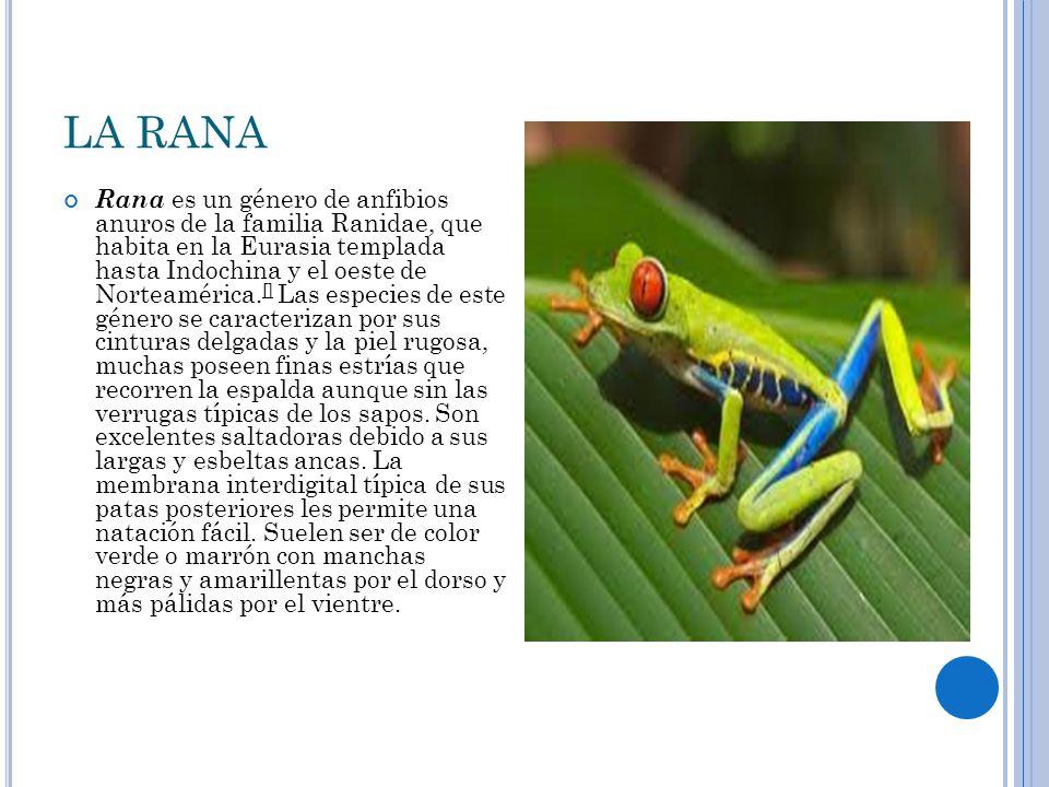 LA RANA Rana es un género de anfibios anuros de la familia Ranidae, que habita en la Eurasia templada hasta Indochina y el oeste de Norteamérica.