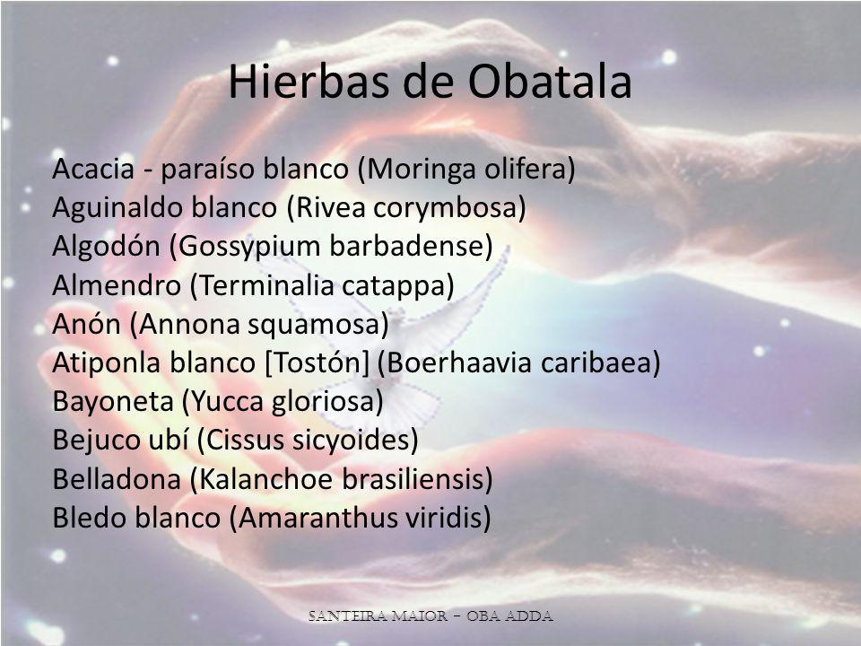 Hierbas de Obatala Acacia - paraíso blanco (Moringa olifera) Aguinaldo blanco (Rivea corymbosa) Algodón (Gossypium barbadense) Almendro (Terminalia catappa) Anón (Annona squamosa) Atiponla blanco [Tostón] (Boerhaavia caribaea) Bayoneta (Yucca gloriosa) Bejuco ubí (Cissus sicyoides) Belladona (Kalanchoe brasiliensis) Bledo blanco (Amaranthus viridis) Santeira Maior - OBA ADDA