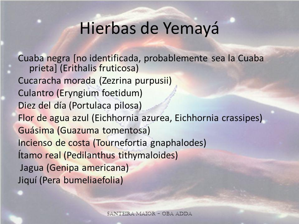 Hierbas de Yemayá Cuaba negra [no identificada, probablemente sea la Cuaba prieta] (Erithalis fruticosa) Cucaracha morada (Zezrina purpusii) Culantro (Eryngium foetidum) Diez del día (Portulaca pilosa) Flor de agua azul (Eichhornia azurea, Eichhornia crassipes) Guásima (Guazuma tomentosa) Incienso de costa (Tournefortia gnaphalodes) Ítamo real (Pedilanthus tithymaloides) Jagua (Genipa americana) Jiquí (Pera bumeliaefolia) Santeira Maior - OBA ADDA