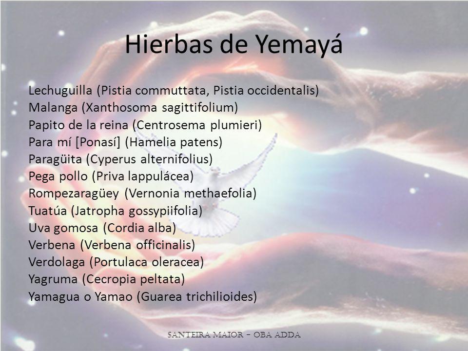 Hierbas de Yemayá Lechuguilla (Pistia commuttata, Pistia occidentalis) Malanga (Xanthosoma sagittifolium) Papito de la reina (Centrosema plumieri) Para mí [Ponasí] (Hamelia patens) Paragüita (Cyperus alternifolius) Pega pollo (Priva lappulácea) Rompezaragüey (Vernonia methaefolia) Tuatúa (Jatropha gossypiifolia) Uva gomosa (Cordia alba) Verbena (Verbena officinalis) Verdolaga (Portulaca oleracea) Yagruma (Cecropia peltata) Yamagua o Yamao (Guarea trichilioides) Santeira Maior - OBA ADDA