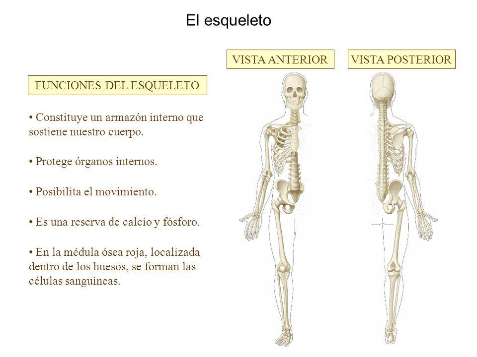 El sistema locomotor. Los huesos El esqueleto VISTA ANTERIORVISTA ...