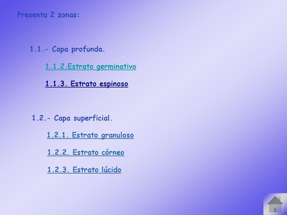 Presenta 2 zonas: 1.1.- Capa profunda. 1.1.2.Estrato germinativo 1.1.3. Estrato espinoso 1.2.- Capa superficial. 1.2.1. Estrato granuloso 1.2.2. Estra