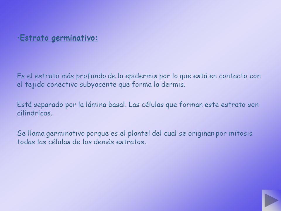 Estrato germinativo: Es el estrato más profundo de la epidermis por lo que está en contacto con el tejido conectivo subyacente que forma la dermis. Es
