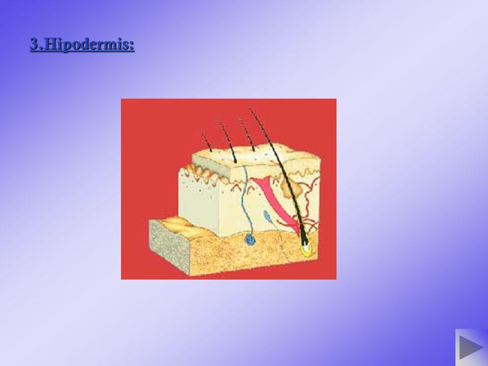 3.Hipodermis: