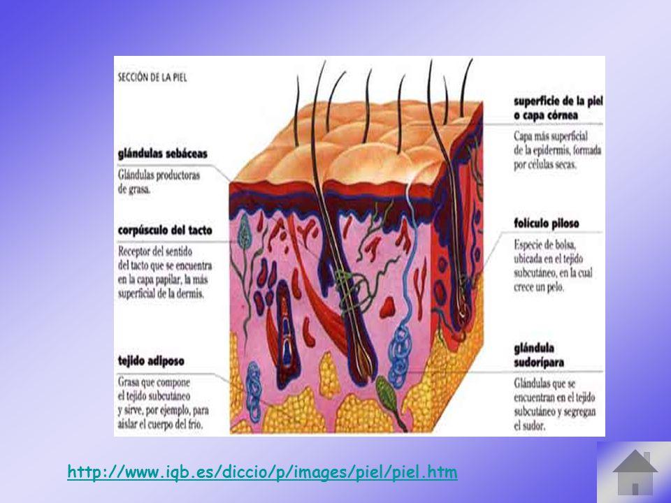 http://www.iqb.es/diccio/p/images/piel/piel.htm