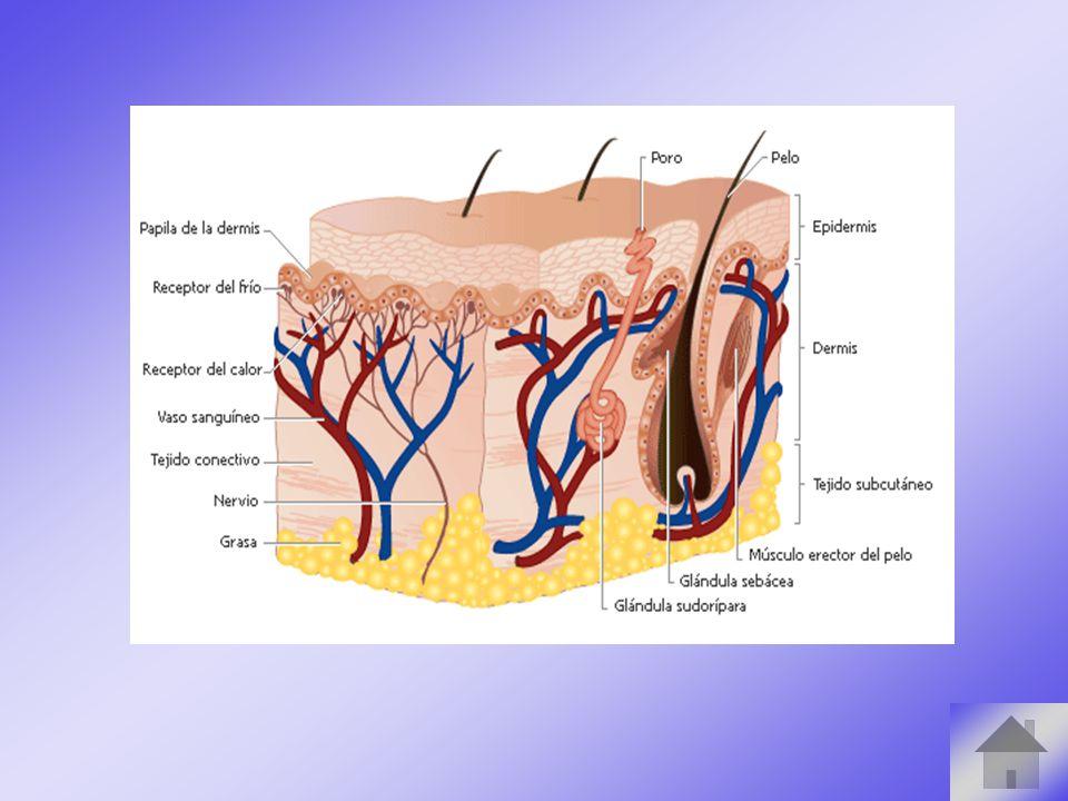 La piel Epidermis Dermis Hipodermis