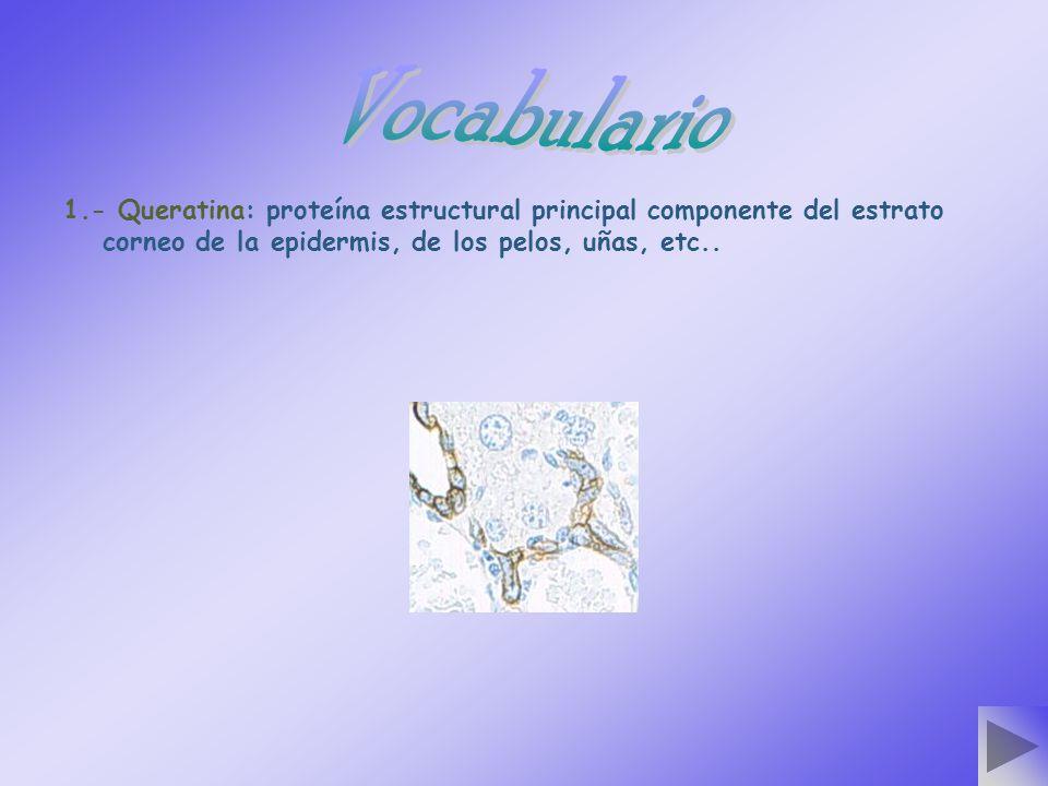 1.- Queratina: proteína estructural principal componente del estrato corneo de la epidermis, de los pelos, uñas, etc..