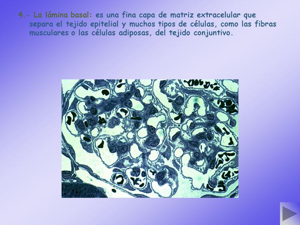 4.- La lámina basal: es una fina capa de matriz extracelular que separa el tejido epitelial y muchos tipos de células, como las fibras musculares o las células adiposas, del tejido conjuntivo.