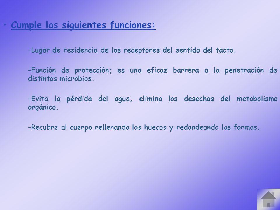 Cumple las siguientes funciones: –Lugar de residencia de los receptores del sentido del tacto. –Función de protección; es una eficaz barrera a la pene