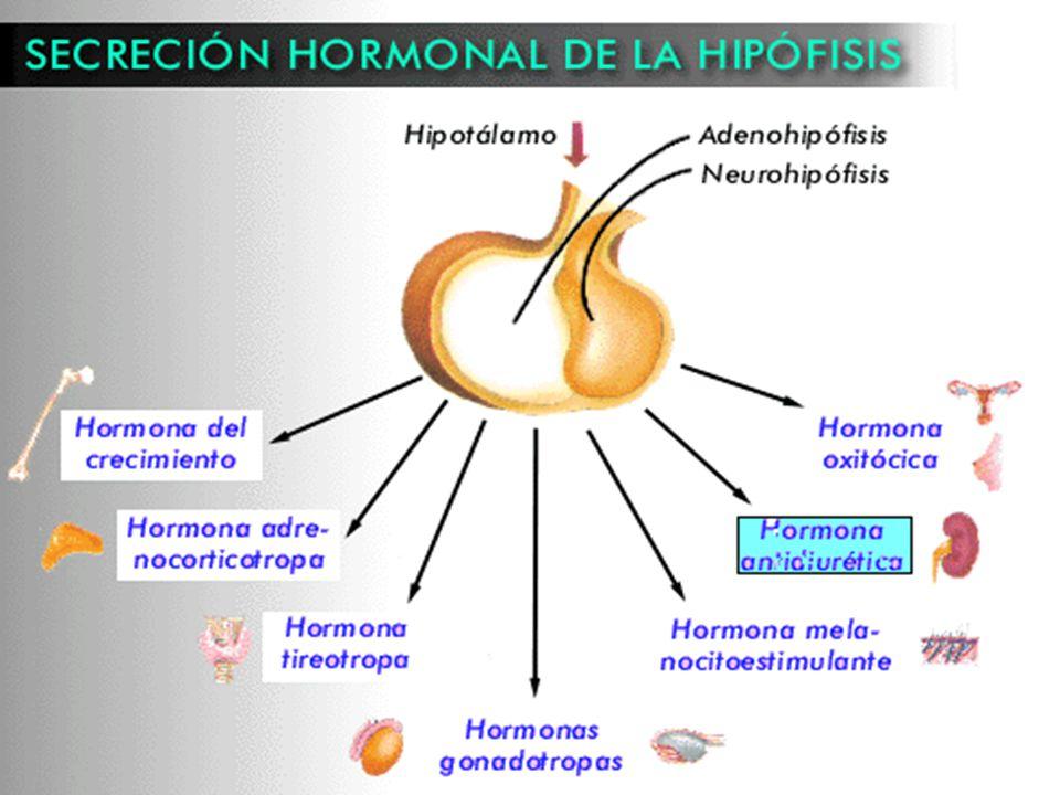 Hormona antidiuretica (adh)  Hormona producida en el Hipotálamo y transportadas desde ella a través de los axones del tallo de la Hipófisis.  Esta h