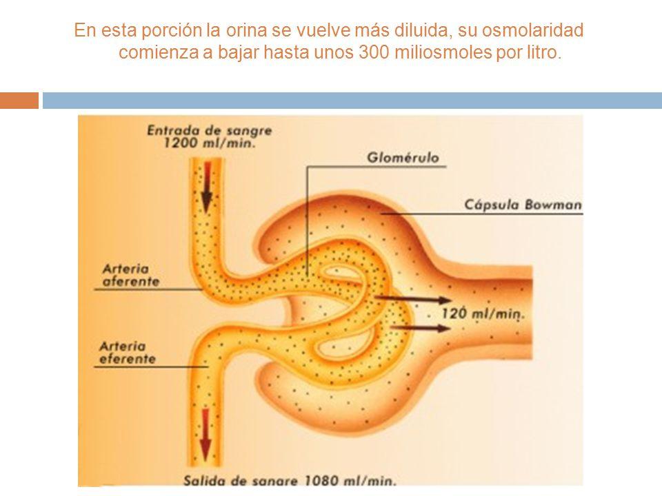  Una vez la orina fluye a través de la porción ascendente del Asa de Henle comienza la salida de iones, principalmente el sodio, la porción ascendent
