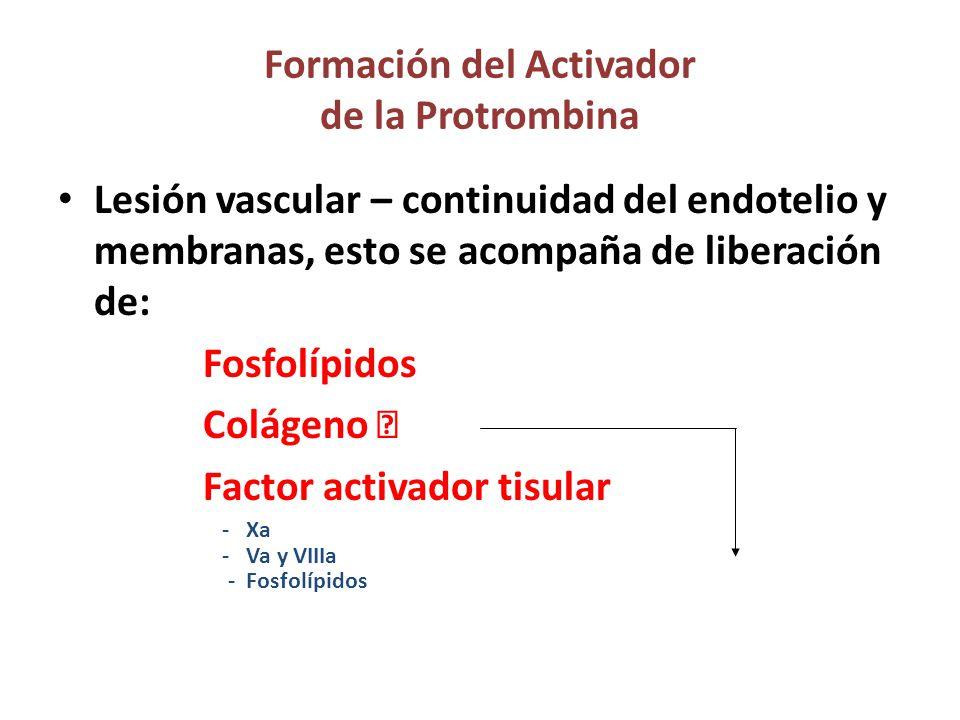 Formación del Activador de la Protrombina Lesión vascular – continuidad del endotelio y membranas, esto se acompaña de liberación de: Fosfolípidos Colágeno  Factor activador tisular - Xa - Va y VIIIa - Fosfolípidos