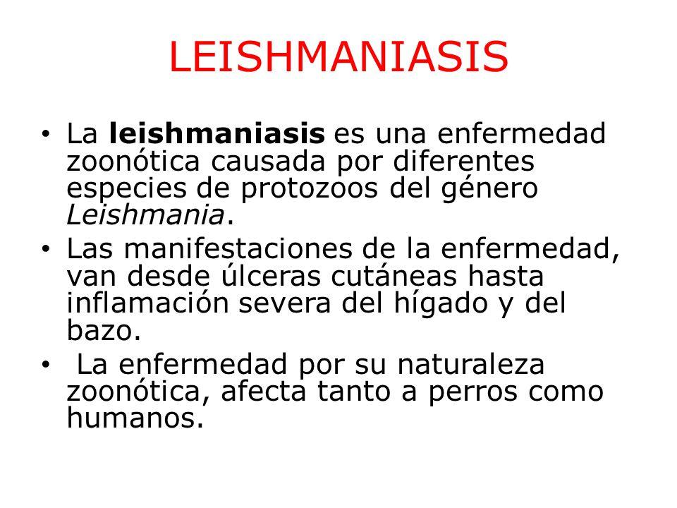 LEISHMANIASIS La leishmaniasis es una enfermedad zoonótica causada por diferentes especies de protozoos del género Leishmania.