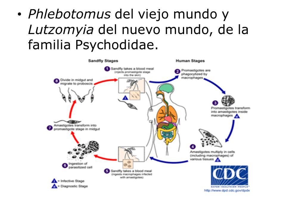 Phlebotomus del viejo mundo y Lutzomyia del nuevo mundo, de la familia Psychodidae.