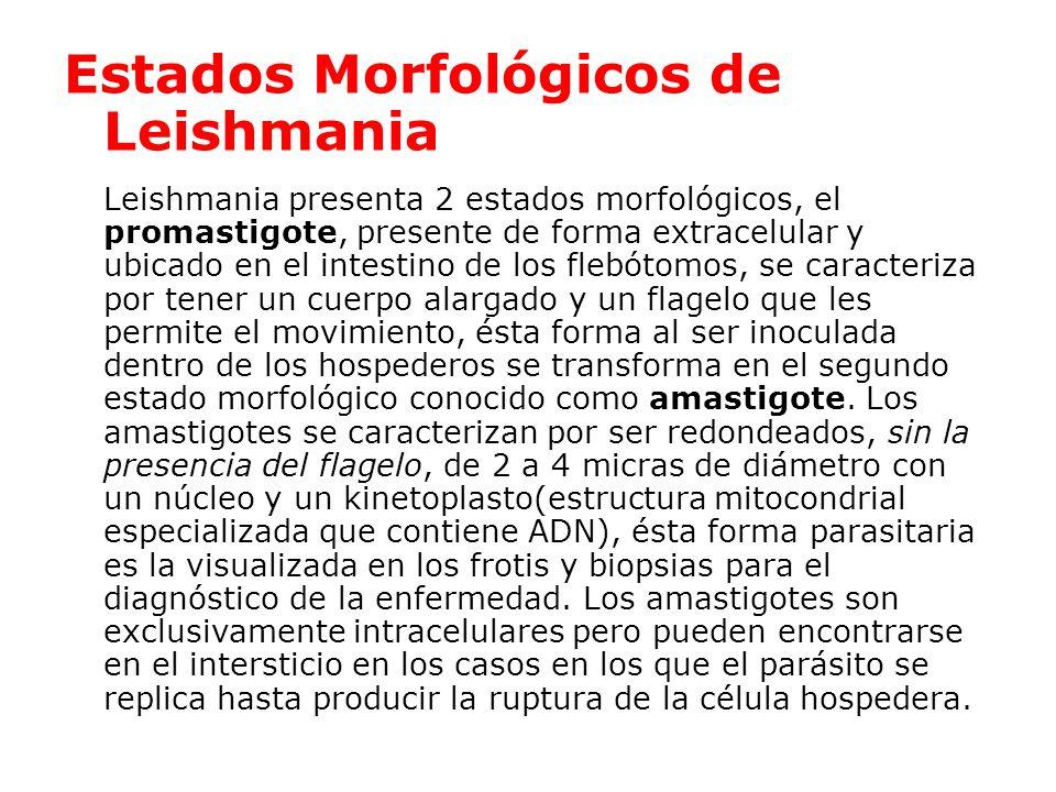 Estados Morfológicos de Leishmania Leishmania presenta 2 estados morfológicos, el promastigote, presente de forma extracelular y ubicado en el intestino de los flebótomos, se caracteriza por tener un cuerpo alargado y un flagelo que les permite el movimiento, ésta forma al ser inoculada dentro de los hospederos se transforma en el segundo estado morfológico conocido como amastigote.