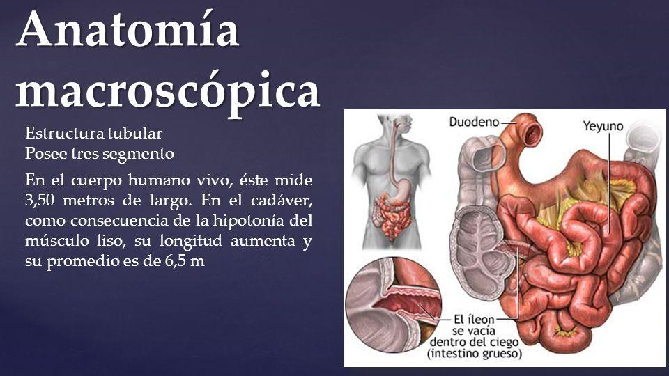 Hermosa Cuerpo De Anatomía Macroscópica Prueba Motivo - Imágenes de ...