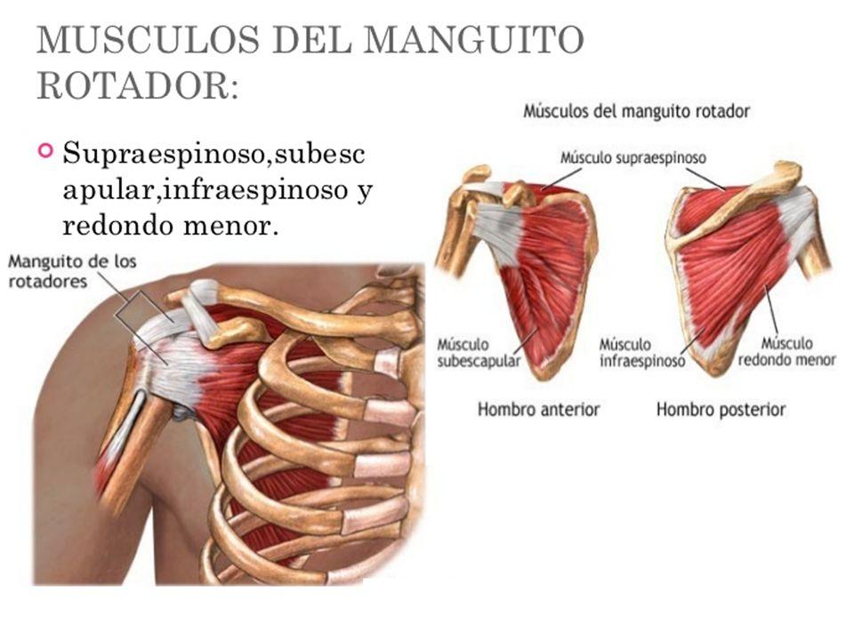 Contemporáneo Supraespinoso Anatomía Muscular Bandera - Anatomía de ...