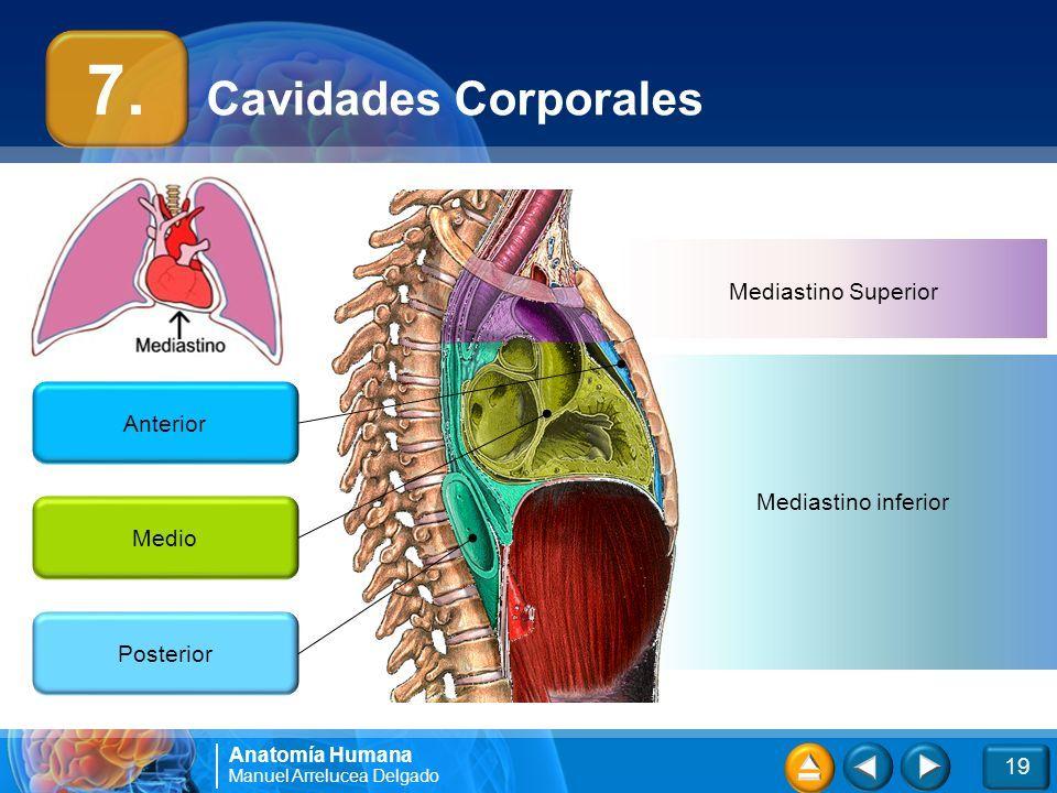 Excepcional Anatomía Mediastino Superior Adorno - Anatomía de Las ...