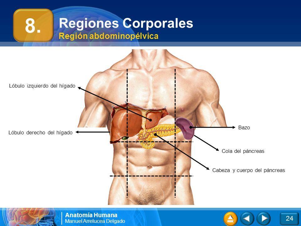Higado Anatomia Humana — Cluber