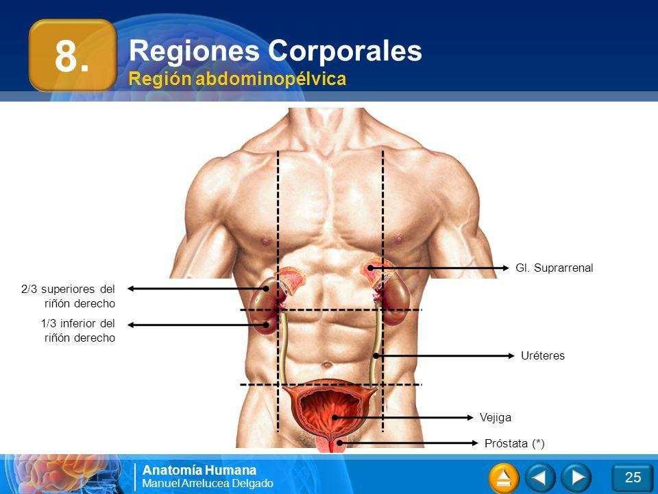 Asombroso Ubicación Riñón Anatomía Colección de Imágenes - Anatomía ...