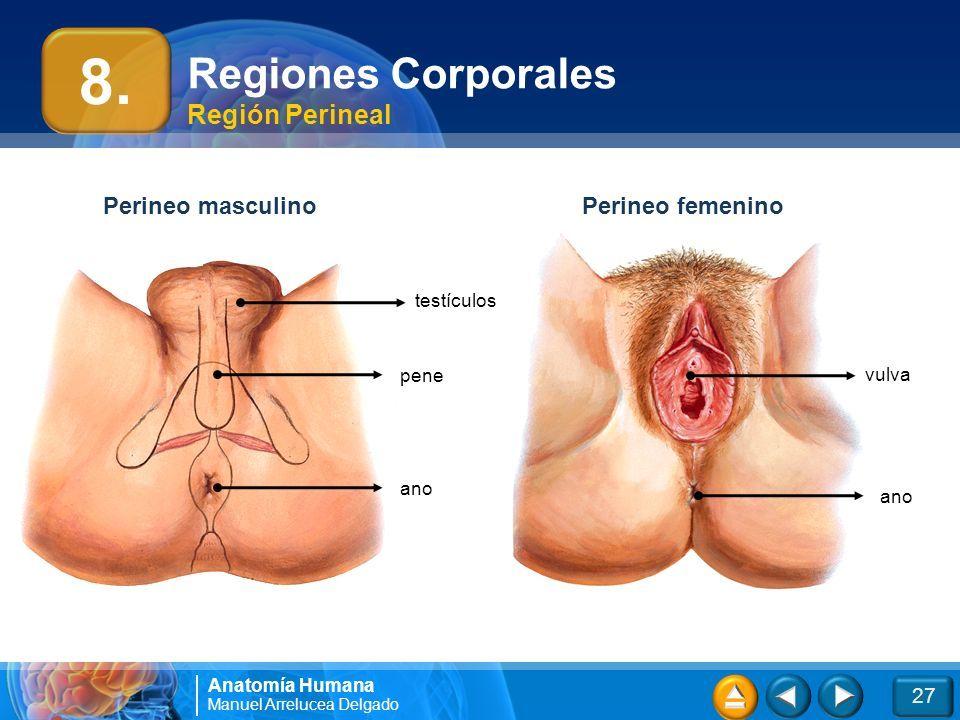 Magnífico Definición Anatomía Perineal Colección de Imágenes ...