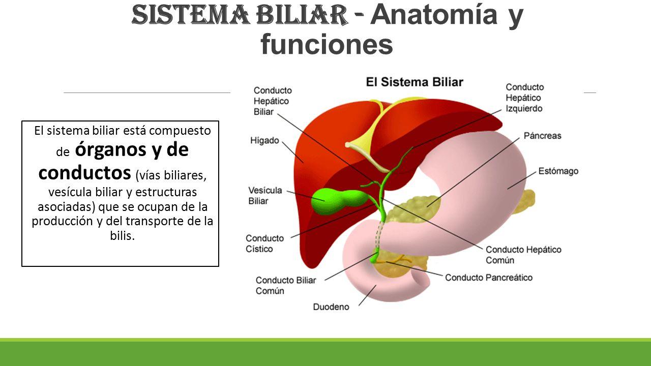 Moderno Anatomía Del Sistema De Conductos Biliares Ideas - Anatomía ...