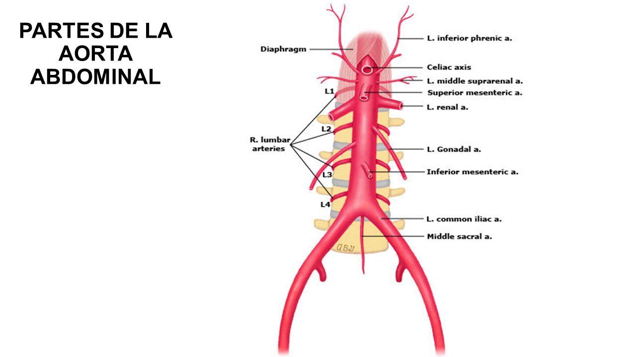Bonito Anatomía De La Aorta Abdominal Bosquejo - Anatomía de Las ...