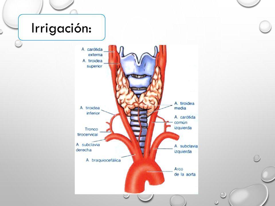 Contemporáneo Anatomía De Tiroides Ideas - Imágenes de Anatomía ...