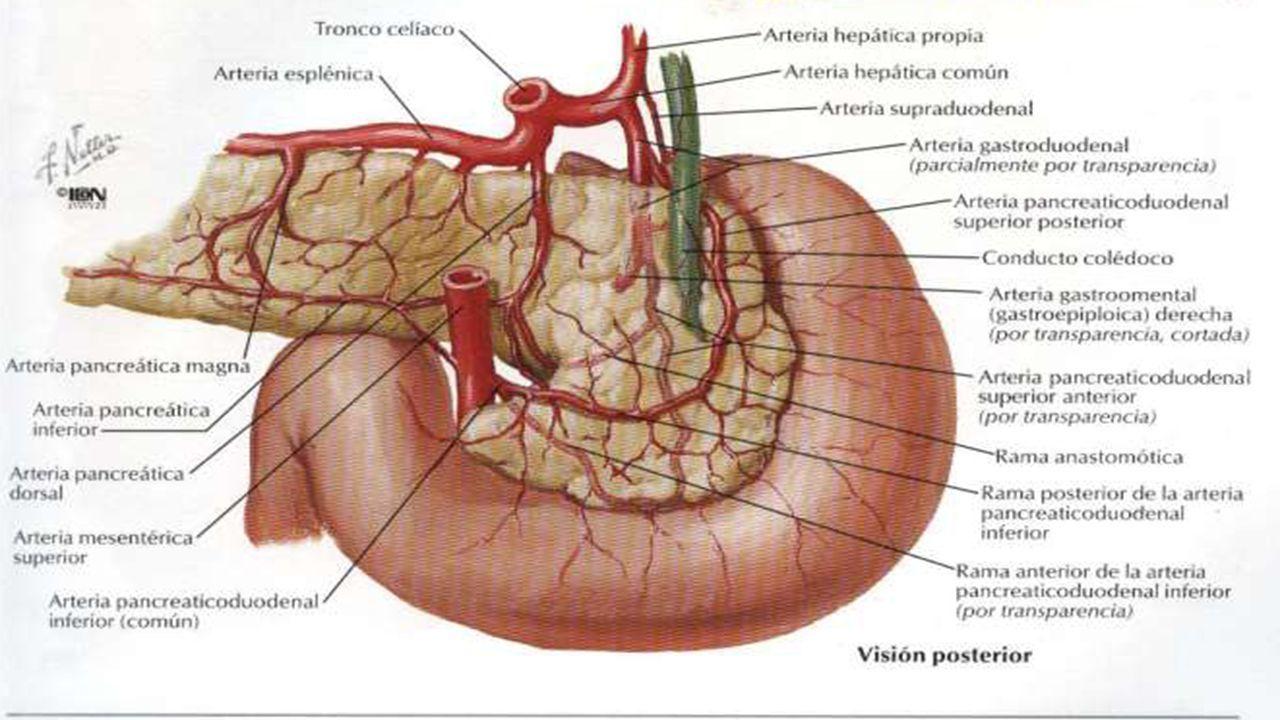 Fantástico Las Variaciones De La Anatomía De La Arteria Hepática ...