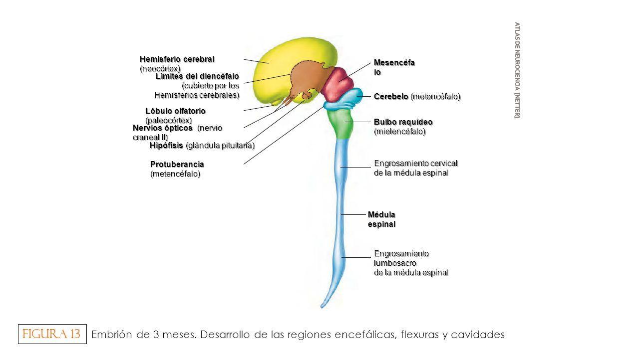 Neuroanatomía DESARROLLO DEL SISTEMA NERVIOSO (Morfogénesis ...