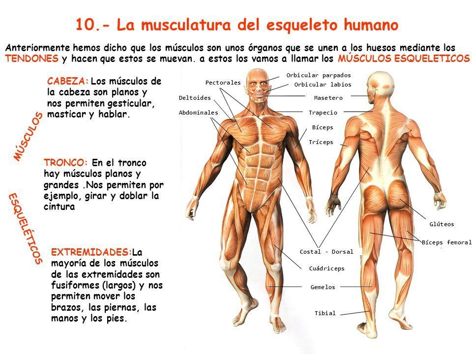"""TEMA 4 CIENCIAS. NATURALES """"EL APARATO LOCOMOTOR"""" CEIP GUADIANA ..."""