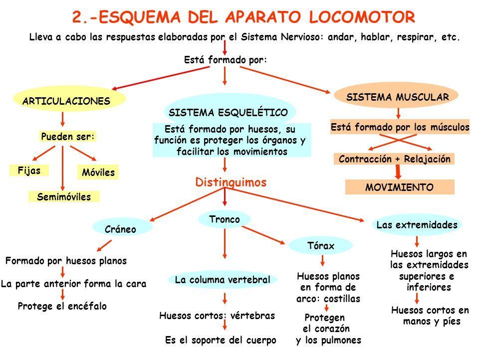 Excepcional Diagrama De Sistema Músculo Esquelético Elaboración ...