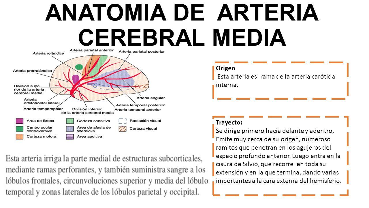 Encantador Cerebral Media Ramas De La Arteria Anatomía Bosquejo ...