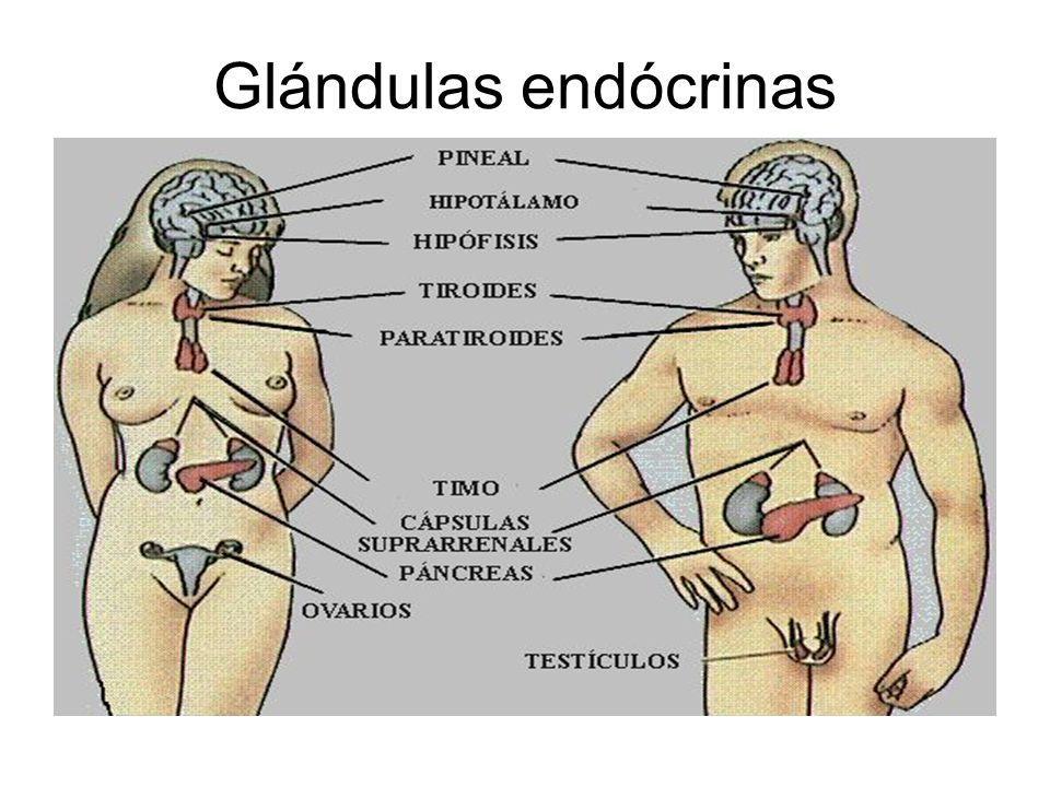 Excepcional Glándulas Viñeta - Imágenes de Anatomía Humana ...