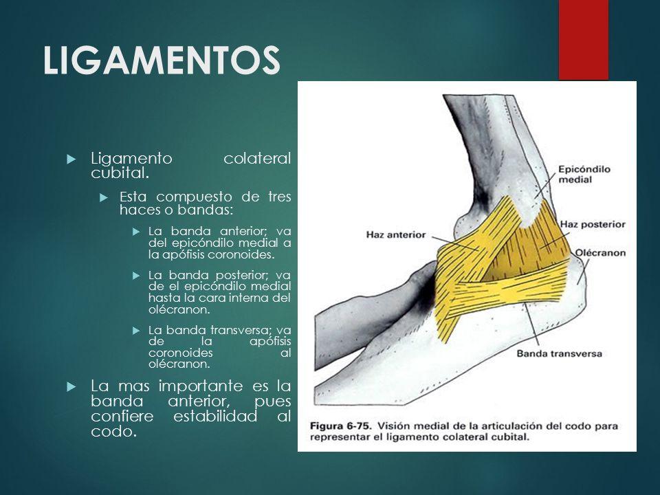 Moderno Colateral Radial Ligamento Codo Colección - Anatomía de Las ...