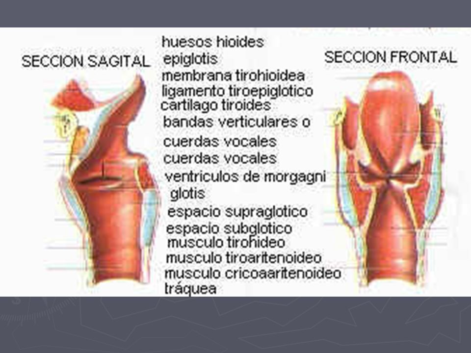 Lujo Subglótica área De Anatomía Bandera - Anatomía de Las ...