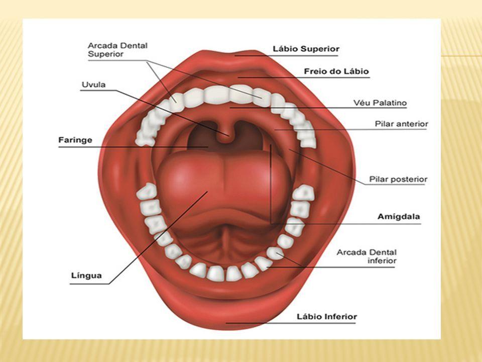 Magnífico Lengua Anatomía Inferior Ornamento - Imágenes de Anatomía ...