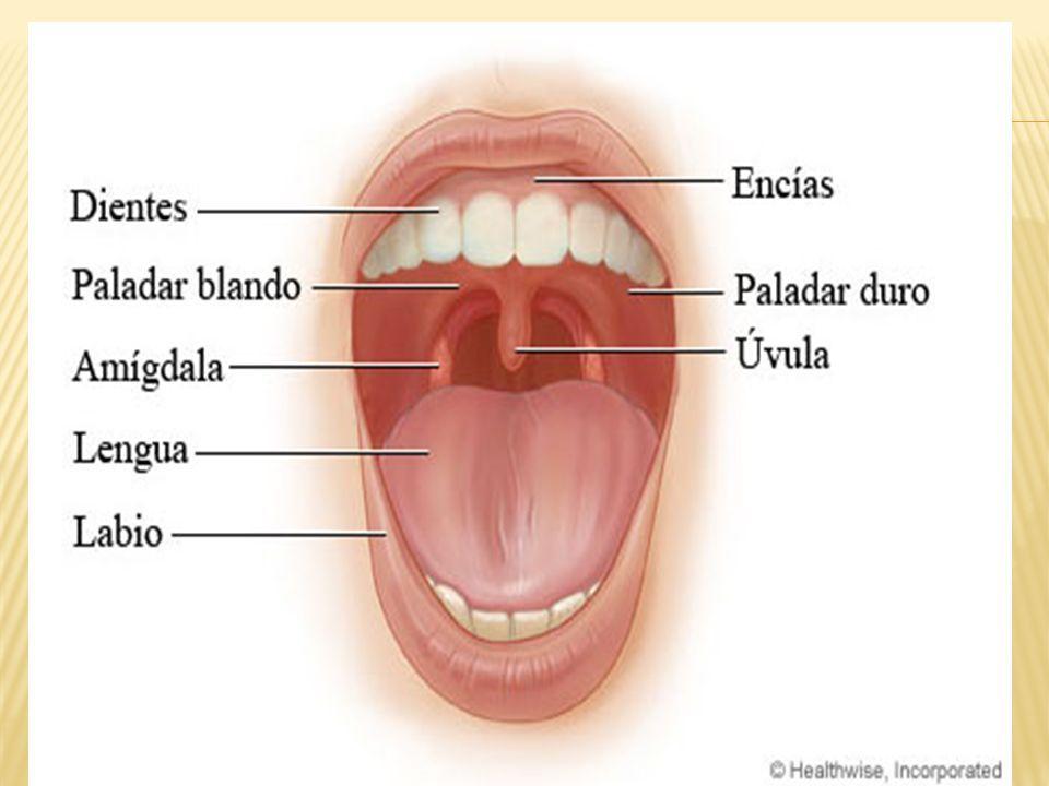 Encantador Anatomía De Una Boca Embellecimiento - Imágenes de ...