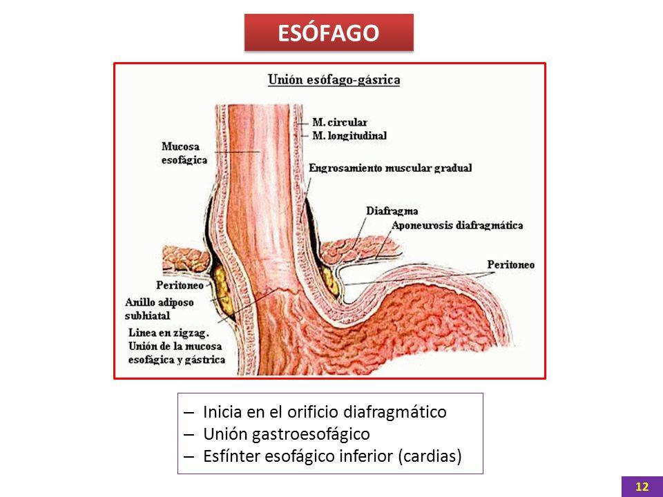 Asombroso Anatomía Del Esfínter Esofágico Inferior Molde - Anatomía ...