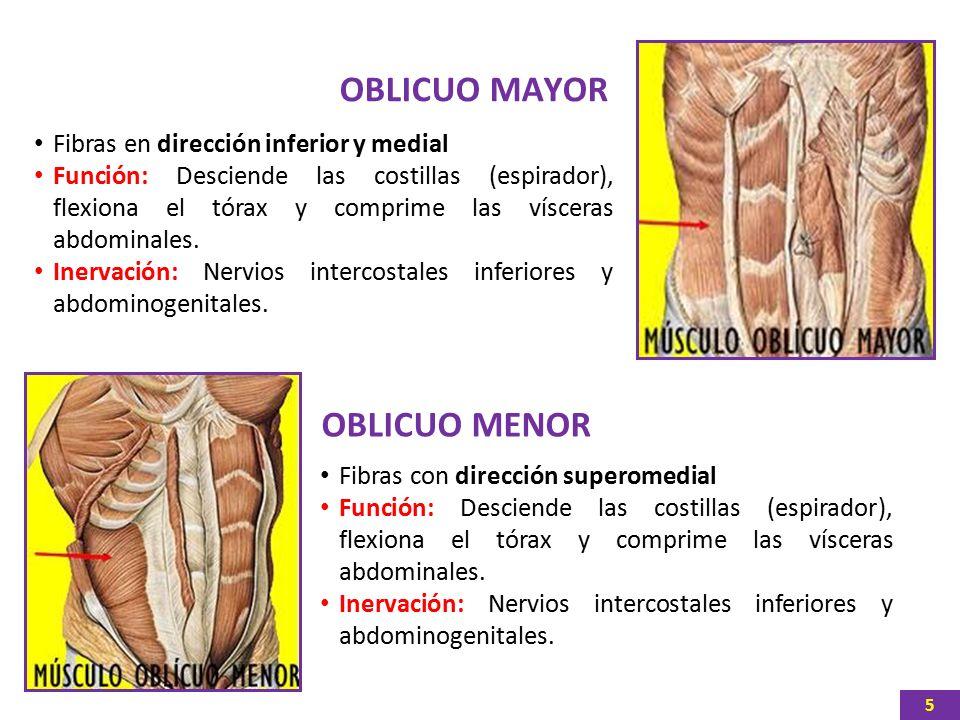 Atractivo Función Oblicuo Externo Fotos - Imágenes de Anatomía ...