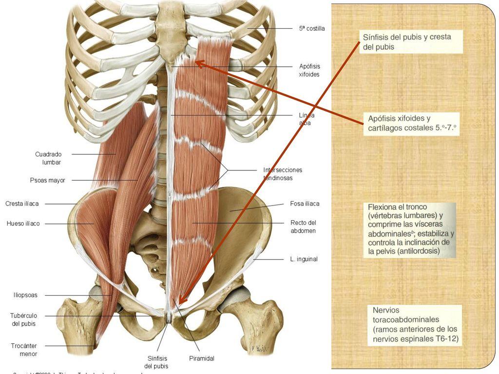Moderno Fractura De Apófisis Xifoides Galería - Imágenes de Anatomía ...